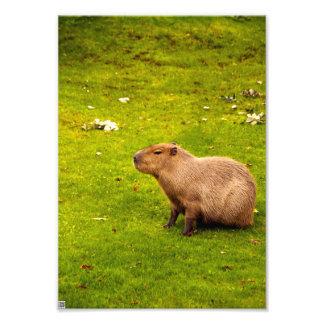 Capybara Cojinete