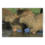 Capybara, Hydrochaeris hydrochaeris), world's Greeting Cards