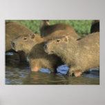 Capybara, Hydrochaeris hydrochaeris), world's Poster
