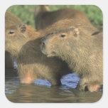 Capybara, Hydrochaeris hydrochaeris), world's Square Sticker