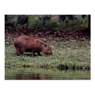 Capybara (Hydrochoerus hydrochaeris) Postcard