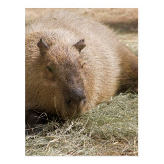 Capybara - Hydrochoeuis hydrochaeris Postcard