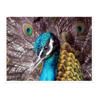cara azul del pavo real tarjetas postales