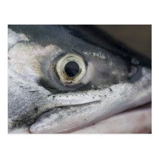 Cara de los salmones de plata postal