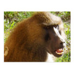 Cara del babuino que muestra los dientes postal