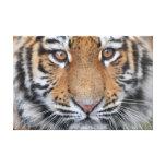 Cara del cachorro de tigre lienzo envuelto para galerias