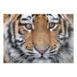 Cara del cachorro de tigre impresiones fotográficas