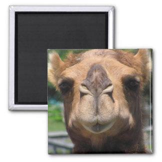Cara del camello imán cuadrado