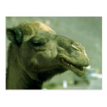 Cara del camello postales