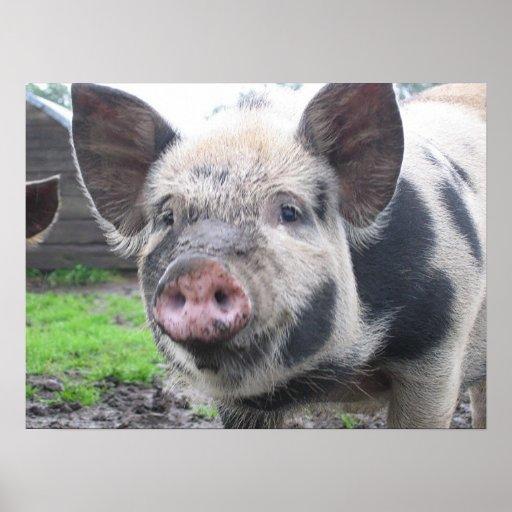 Cara del cerdo póster