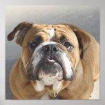 Cara del dogo - dogo inglés, Brown Poster