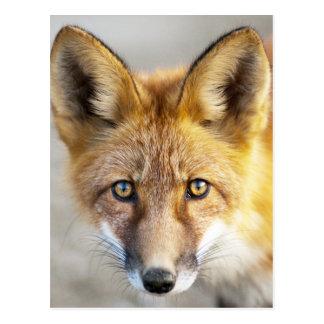 Cara del Fox rojo, primer Postales