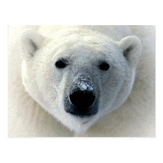 Cara del oso polar postal