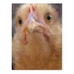 Cara del pollo tarjetas postales
