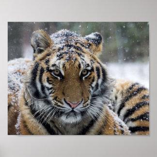 Cara del tigre del invierno posters