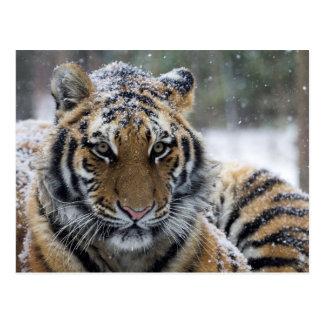 Cara del tigre del invierno postal