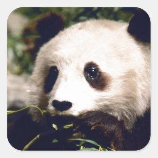 Cara dulce blanca del oso de panda de la fauna del pegatina cuadrada