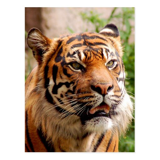 Cara hermosa del tigre postal