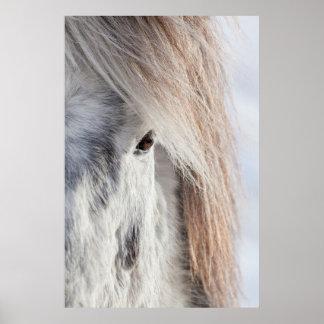 Cara islandesa blanca del caballo, Islandia Póster