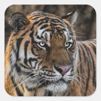 Cara magnífica del gato montés del tigre pegatina cuadrada