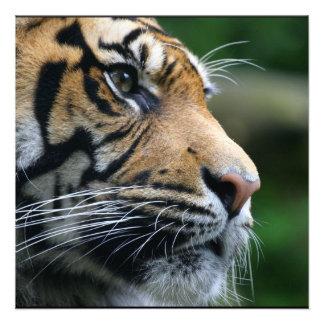 Cara magnífica del tigre de Bengala Anuncios