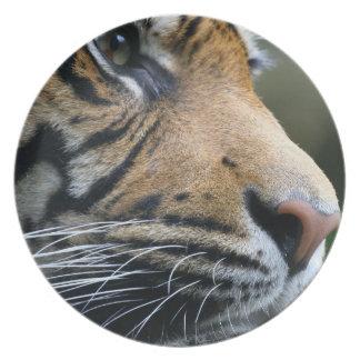 Cara magnífica del tigre de Bengala Platos Para Fiestas