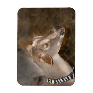 Cara rayada afeitada gama alpina de la cabra del b imán