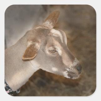 Cara rayada afeitada gama alpina de la cabra del pegatina cuadrada