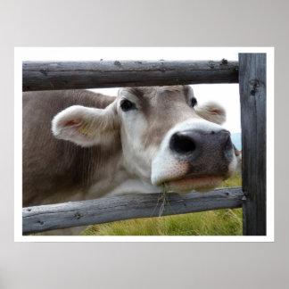 Cara tirolesa de la vaca a través de la cerca poster