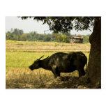 Carabao Under a Tree (2) Postcard