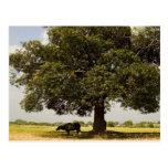 Carabao Under a Tree (3) Postcards