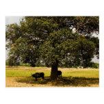 Carabao Under a Tree Postcard
