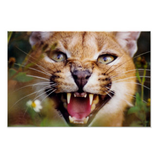 Caracal Hissing Poster