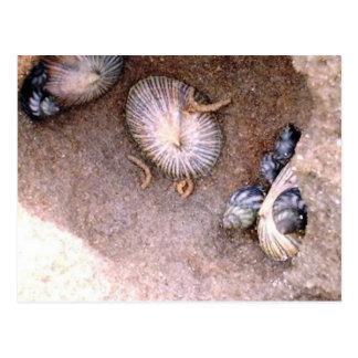 Caracoles y lapas de mar postales