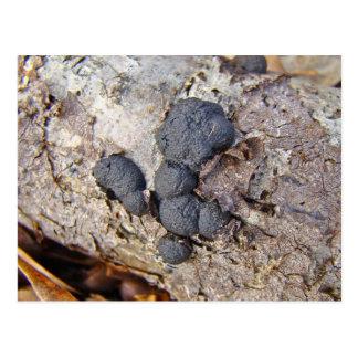 Carbon Balls(Daldinia concentrica) Mushrooms Postcard