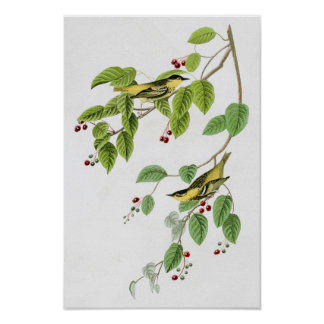 Carbonated Warbler John Audubon Birds of America Poster
