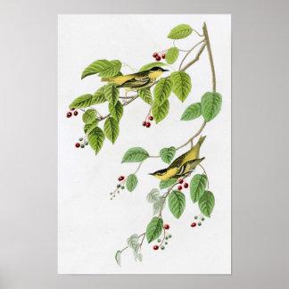Carbonated Warbler John Audubon Birds of America Poster