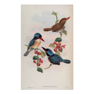 Carcineutes Melanops (Blue-Faced Kingfisher) Poster