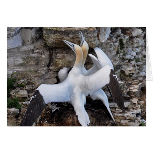 Card: Courting Gannets Card