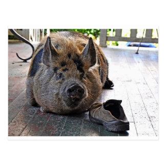 Card. Kunekune Pig.  Resting on porch. Postcard