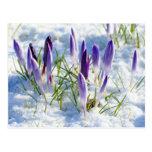 Card Purple Crocus Flower in Snow Postcards