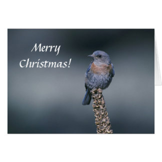 Card / Western Bluebird / Merry Christmas!