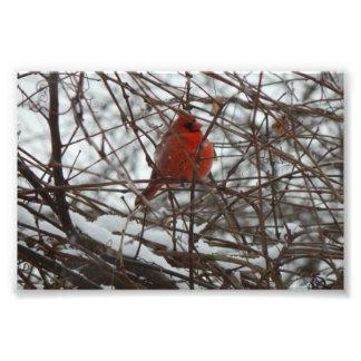 Cardenal del invierno fotografías