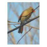 Cardenal/pájaro femeninos postales
