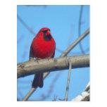 Cardenal/pájaro rojos postales