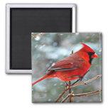 Cardenal rojo en la nieve imán cuadrado