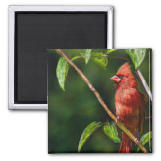 Cardenal rojo imán cuadrado