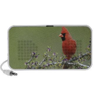 Cardenal septentrional, cardinalis de Cardinalis,  iPod Altavoces