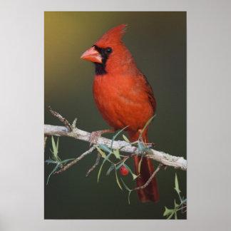 Cardenal septentrional, cardinalis de Cardinalis,  Poster