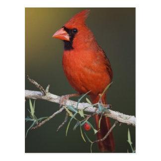 Cardenal septentrional cardinalis de Cardinalis Tarjetas Postales